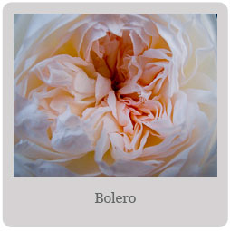 Bolero Mesa-East Valley Rose Society