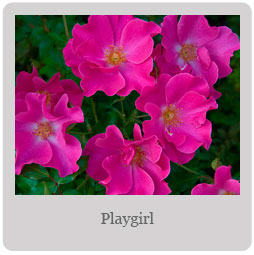 Playgirl Mesa-East Valley Rose society