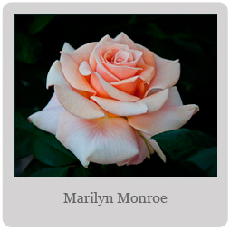 Marilyn Monroe Mesa-East Valley Rose Society