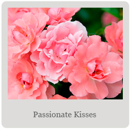 Passionate Kisses Mesa-East Valley Rose society